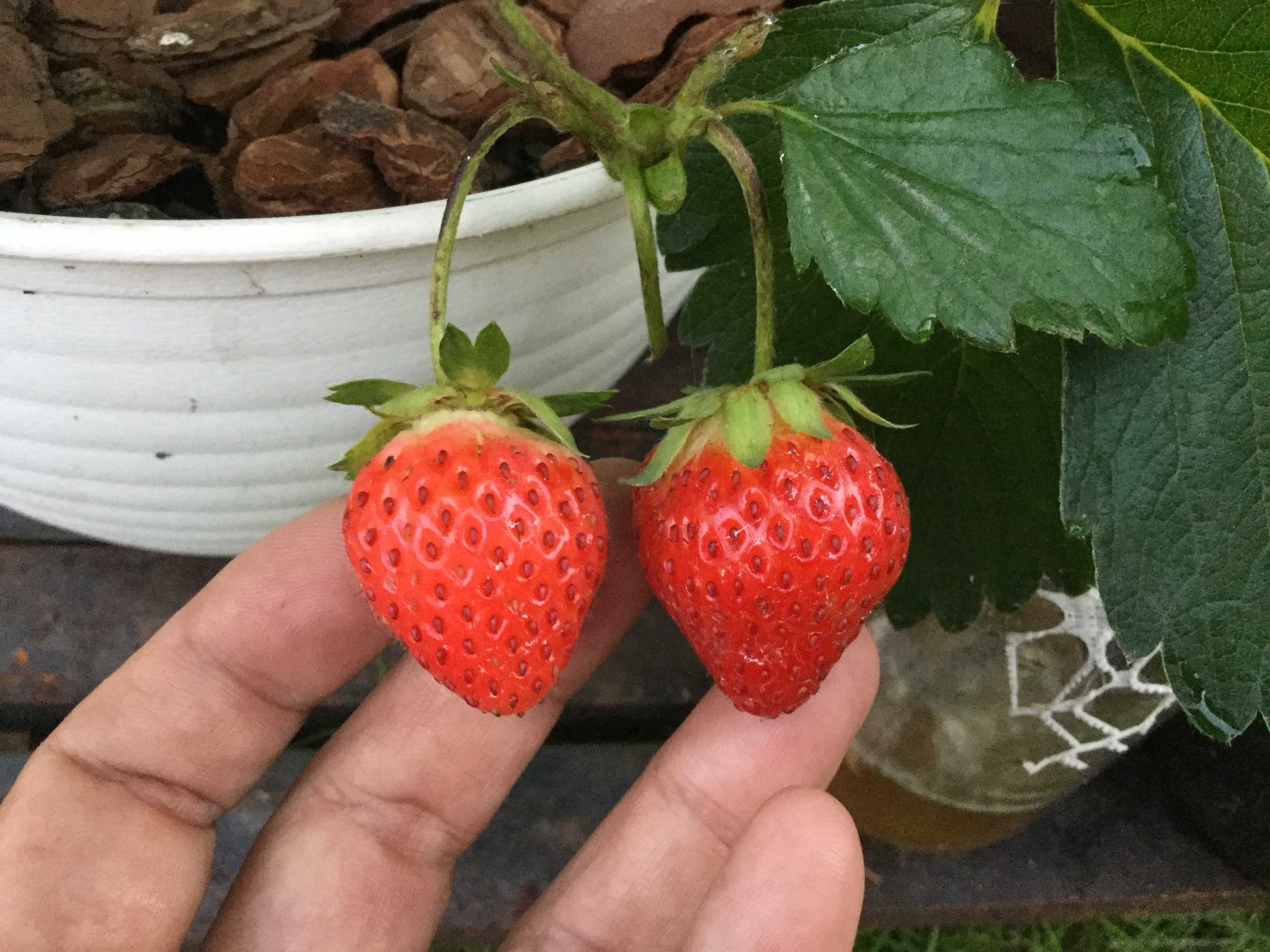 イチゴの味の違い!実る日数でここまで違うのか!7月14日