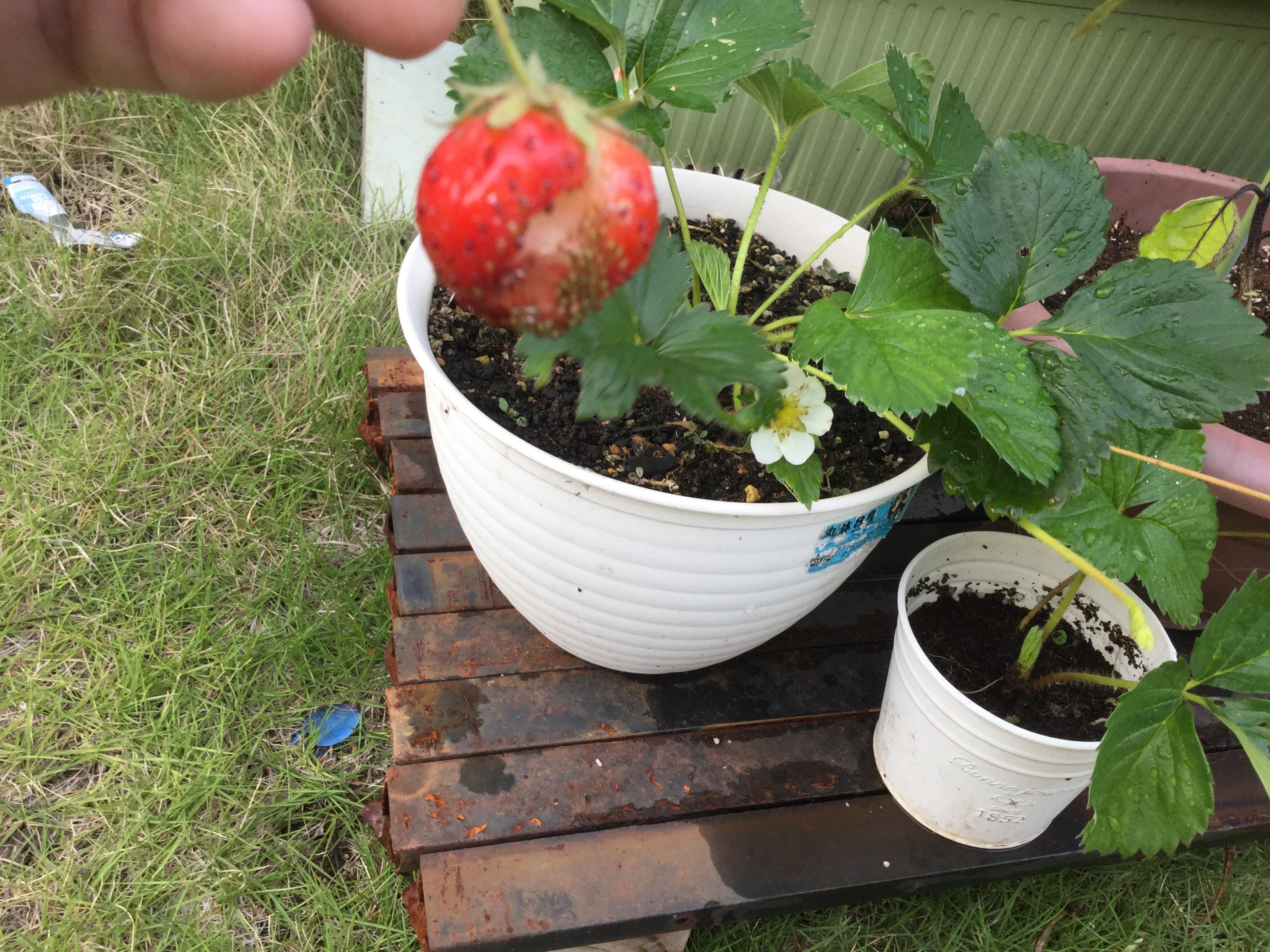 いよいよ収穫四季成りイチゴ!でもどんでん返し・・・6月21日