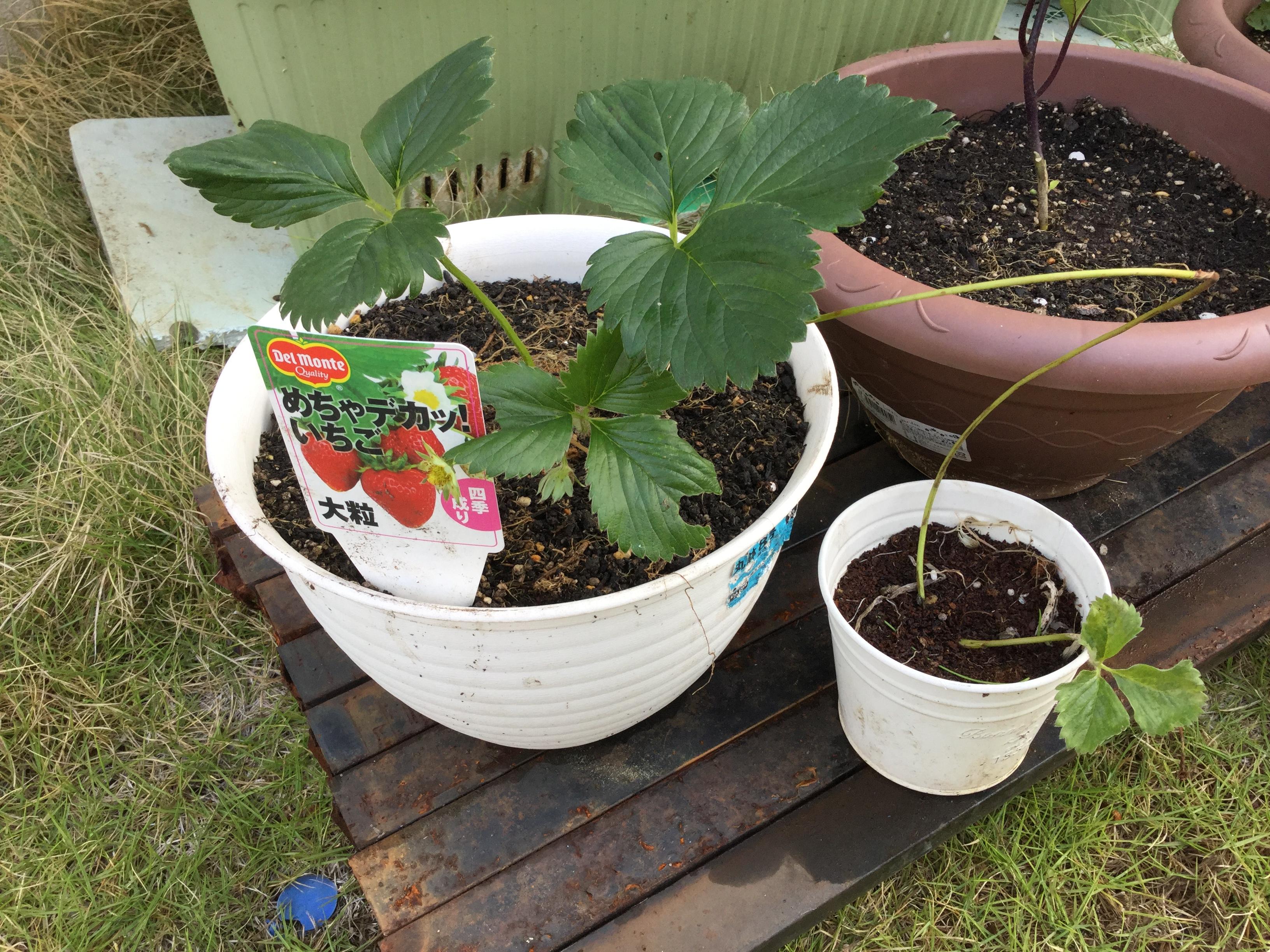 イチゴが受粉した!5月27日