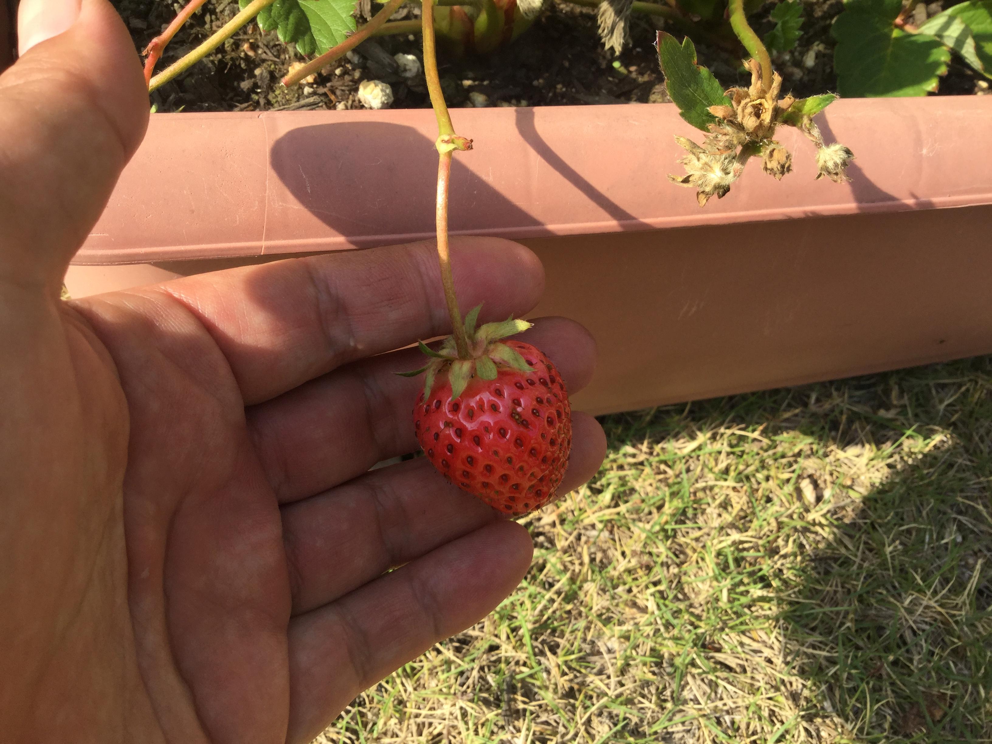 イチゴの収穫は害虫との戦い!