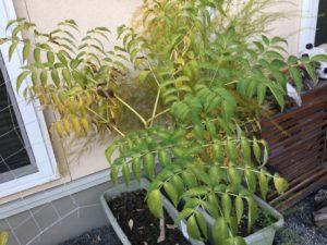 現在のタラノ木