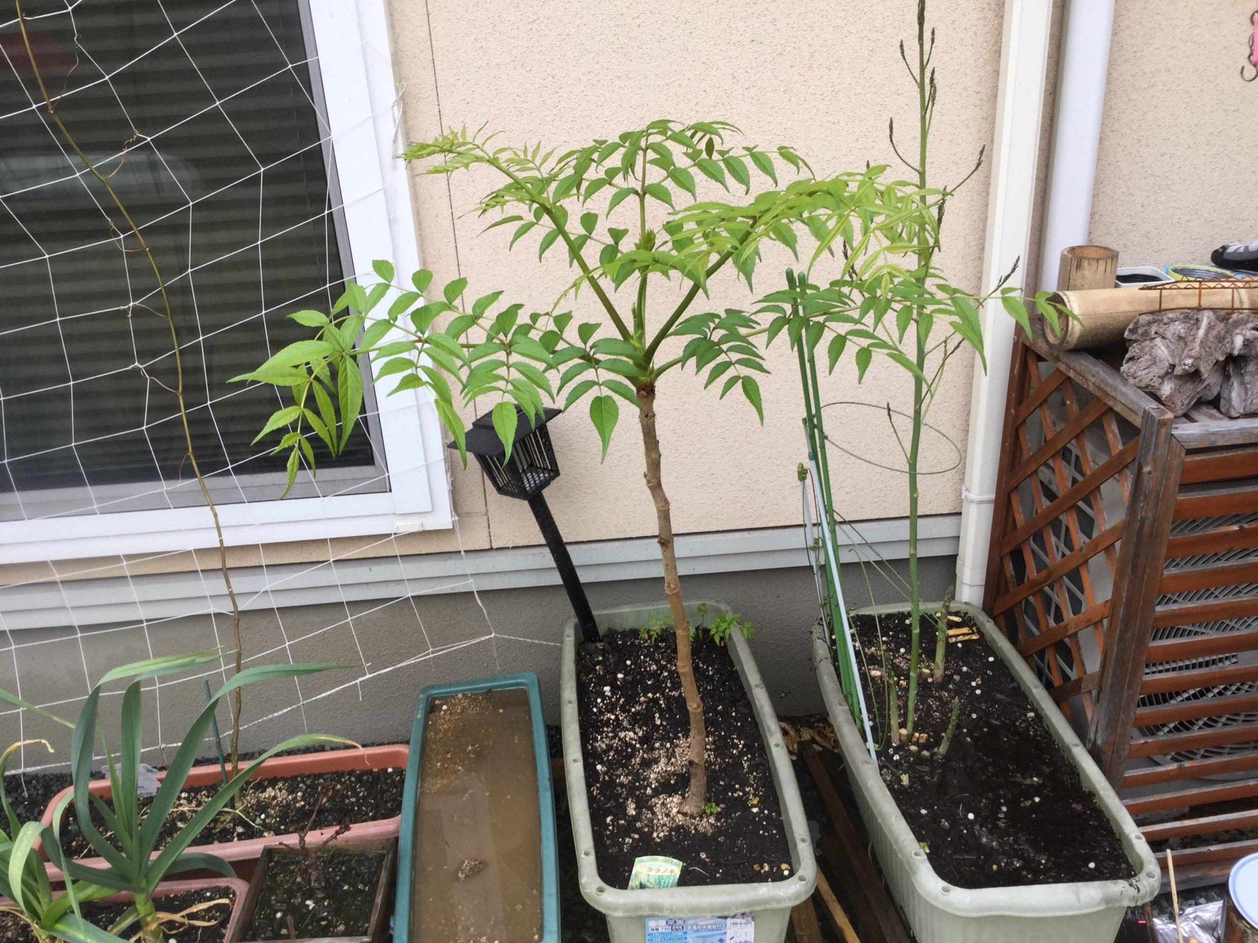 こんなに簡単!タラノ木の芽を増やす!
