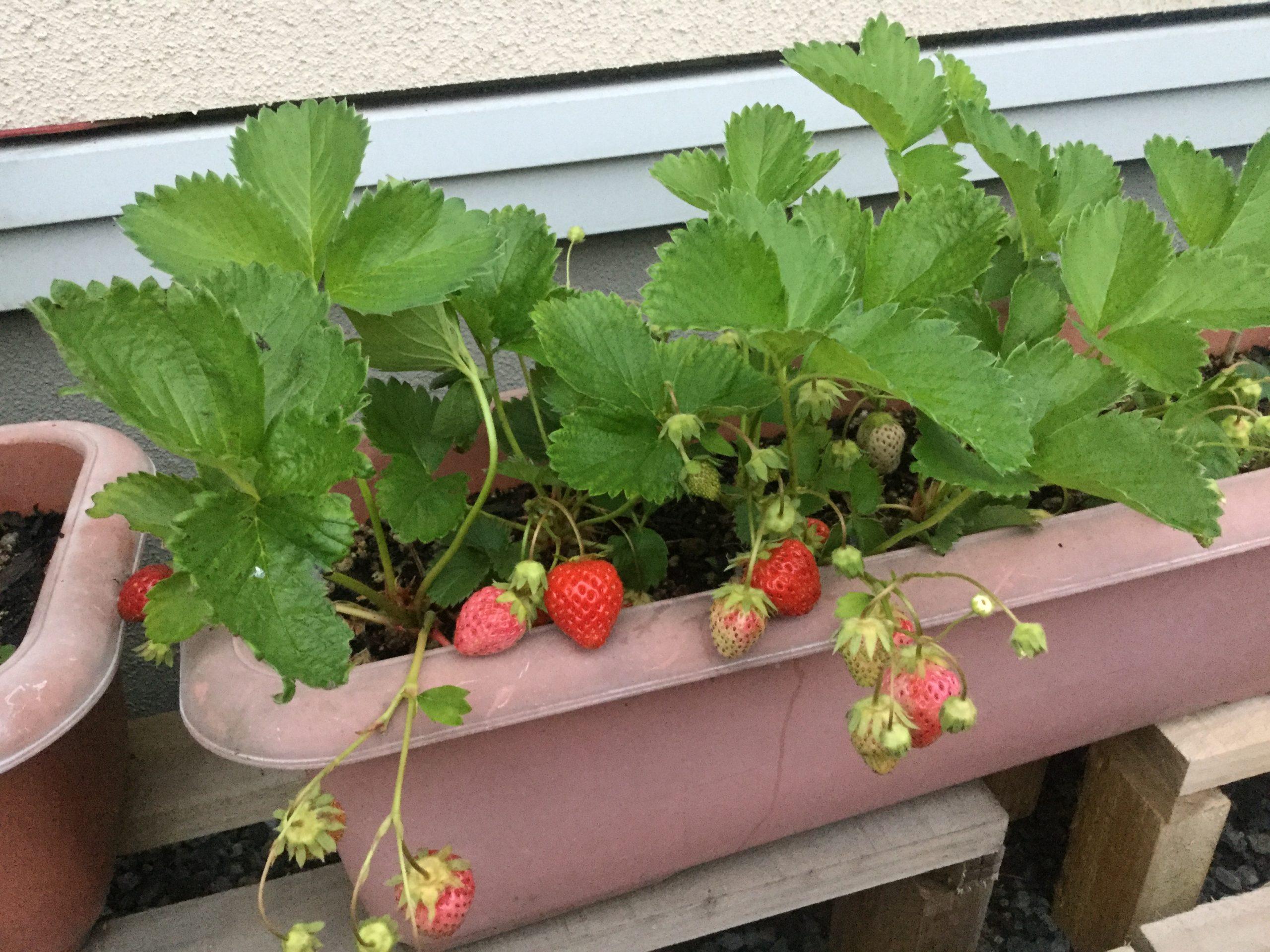 イチゴ豊作!