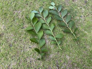 ブルーベリーの枝