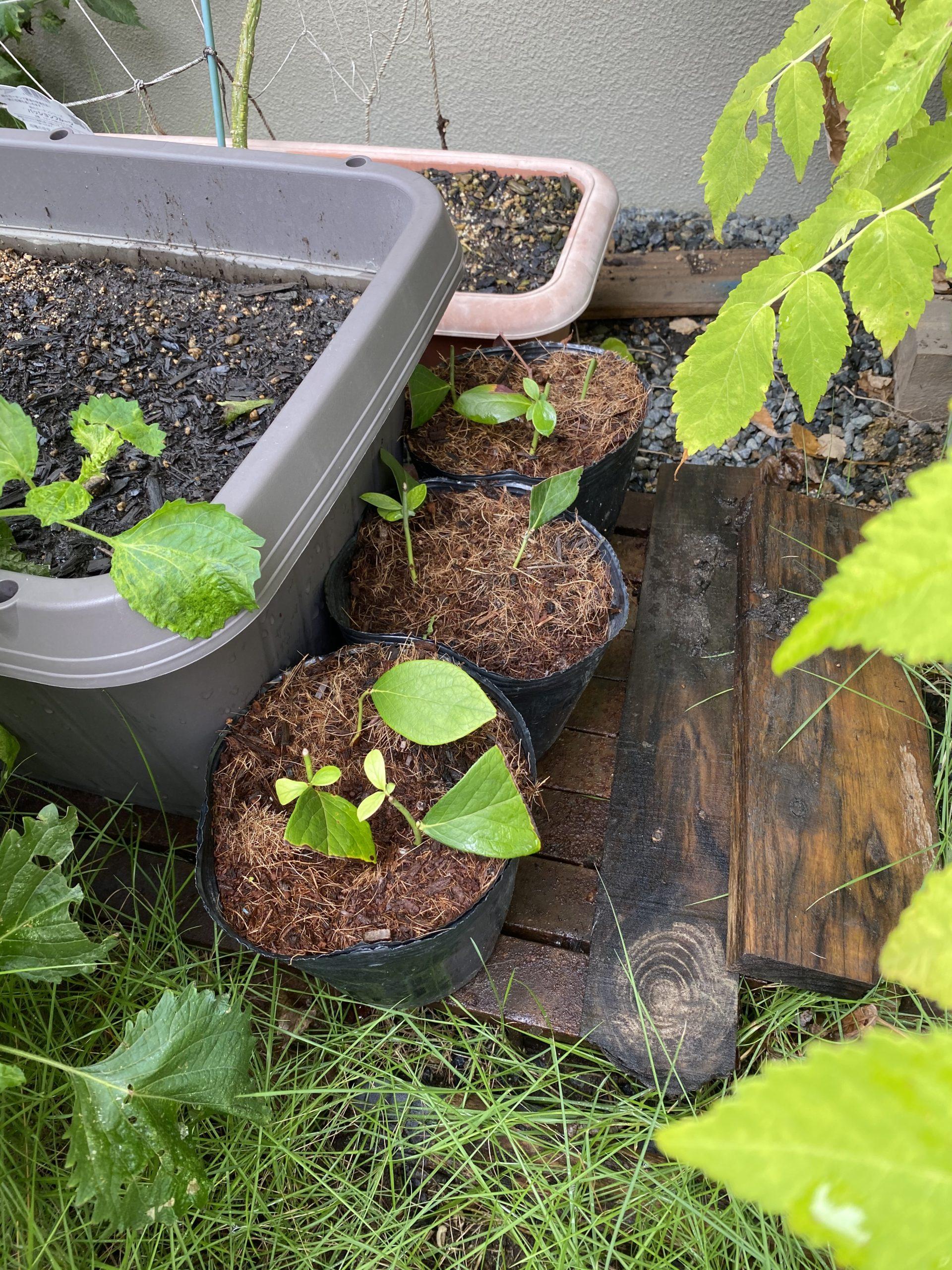 植物は時期が難しい!鉢を変えるタイミングが難しい。