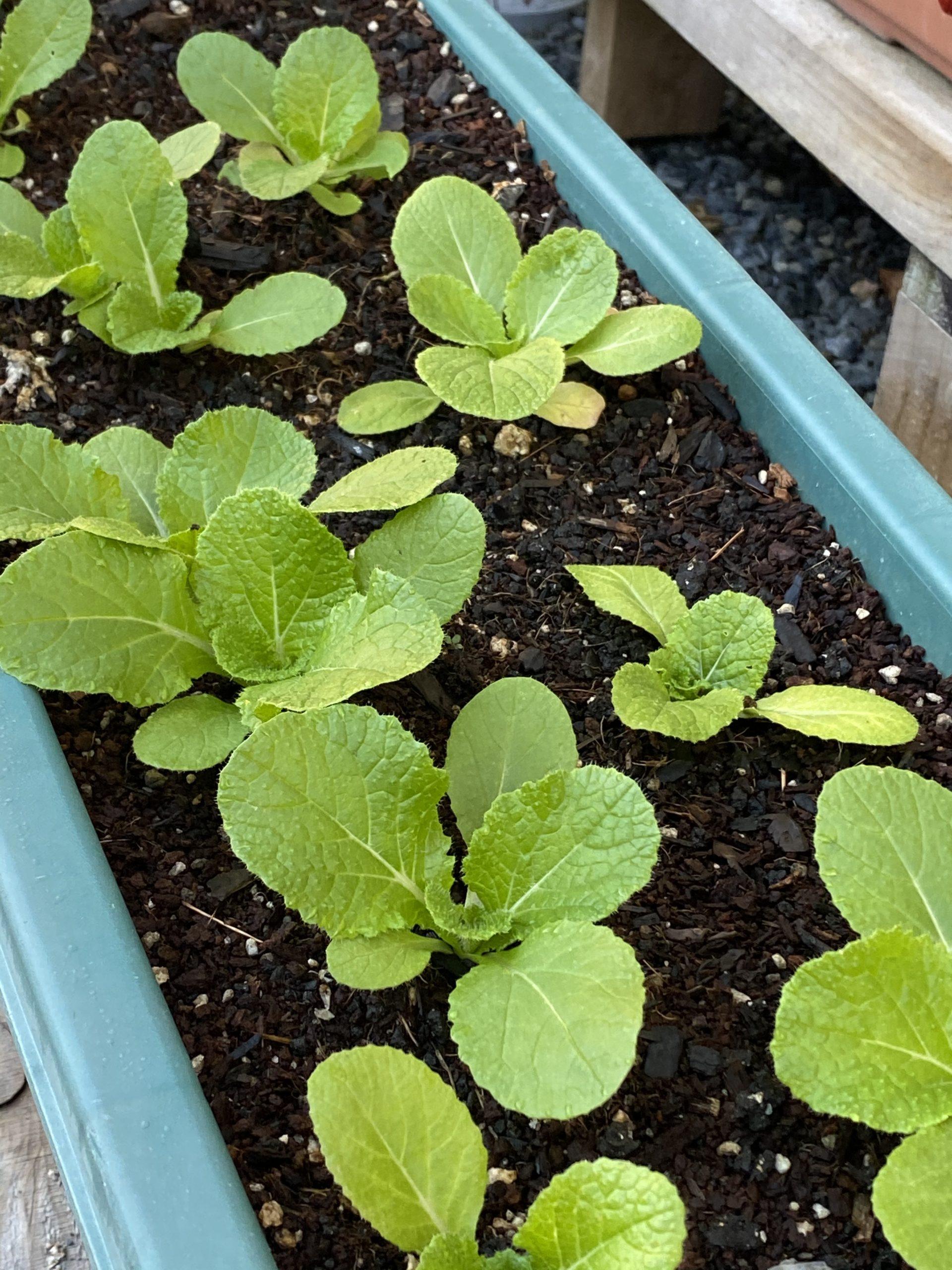 最底辺からの復活の植物!白菜がなんとか形になる?