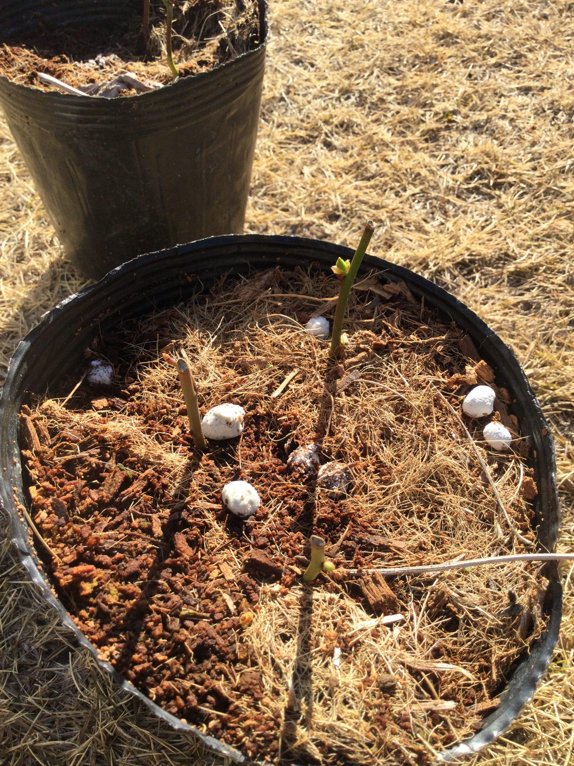 枯れ覚悟で挑む!ブルーベリーの挿し木の鉢を変える!初めての経験!