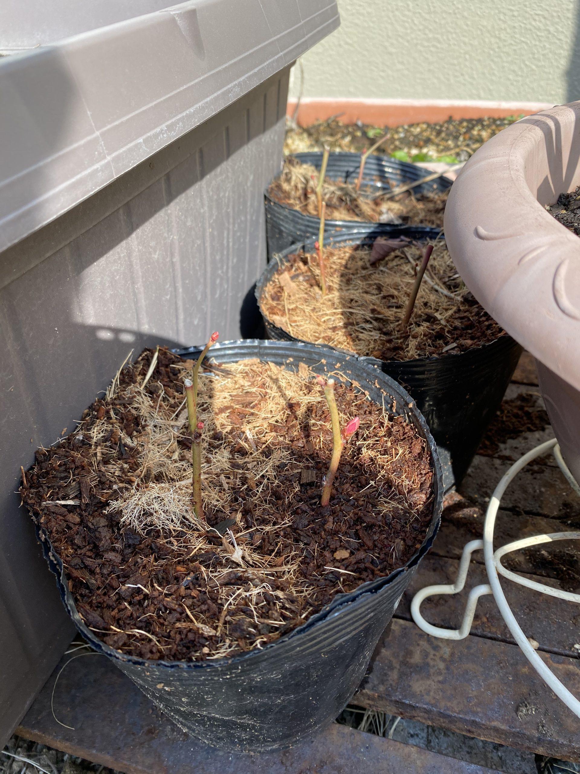 挿し木の2年目がかなり期待できそう!ブルーベリーの初収穫を目指す!