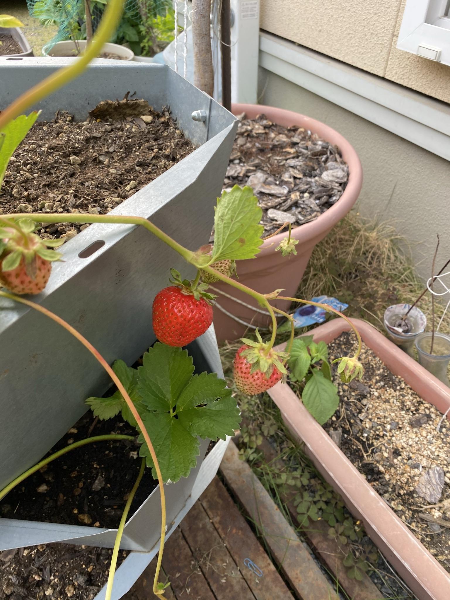 イチゴが続々収穫!ちょっと嬉しい途中報告!