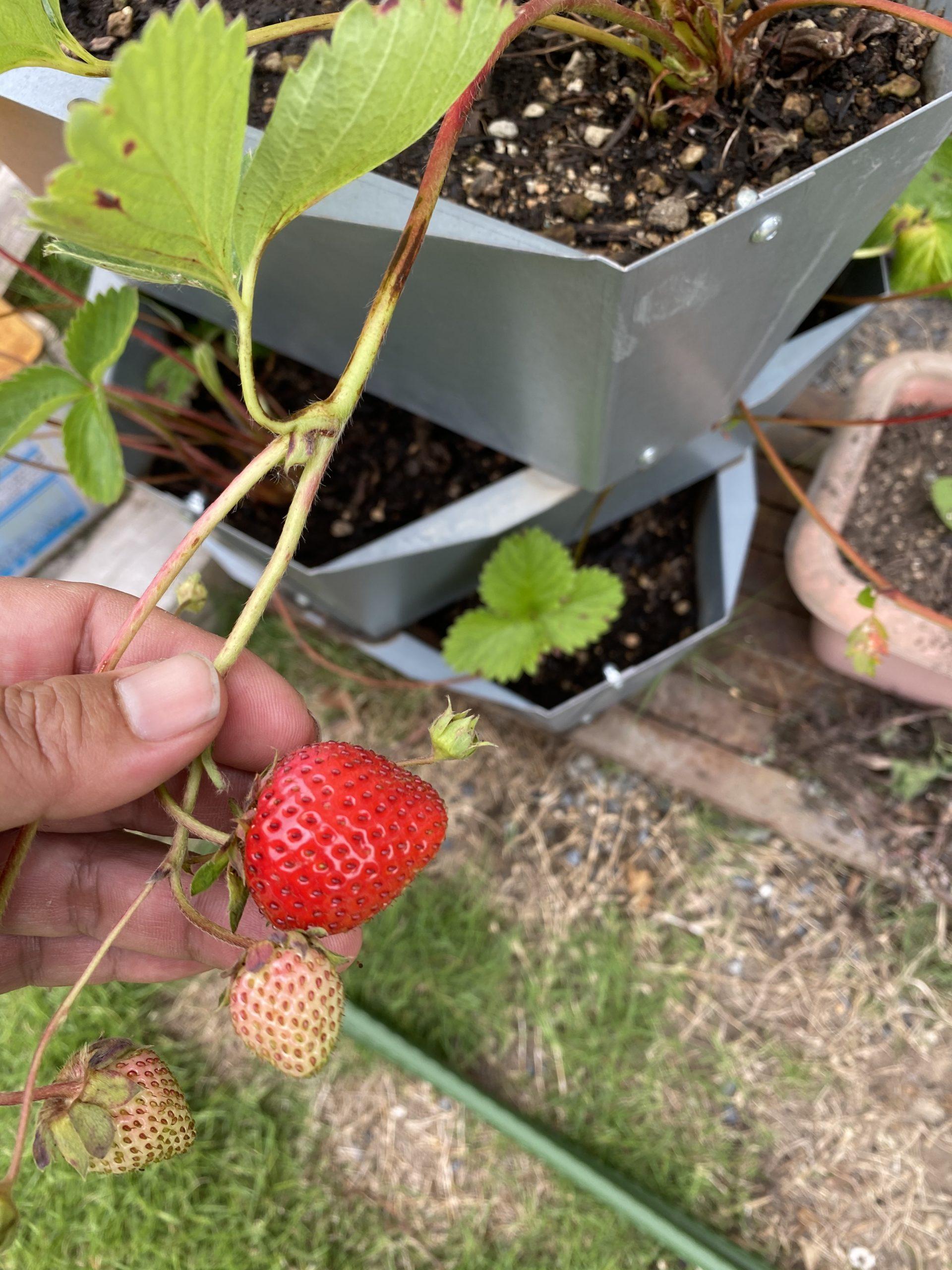 イチゴの栽培にちょっと不安な事象が起き始めた!どうなるかな?